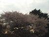 Sakura_gyoen05