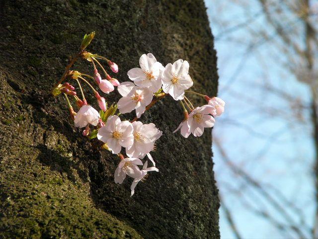Sakurast06
